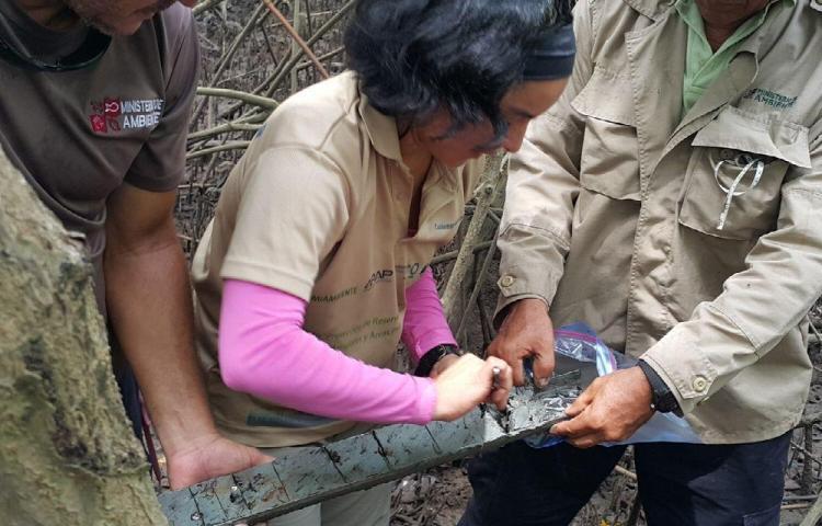 Miden el carbono que está almacenado en los manglares