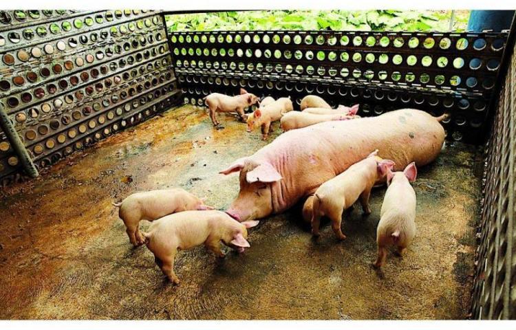 Productores de Cerdo rechazan medida impuesta por el MICI