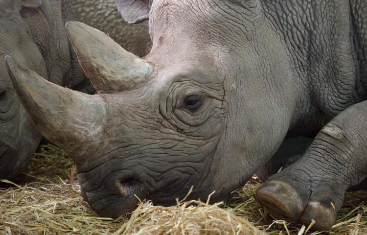 Muere el último de once rinocerontes negros trasladados a un parque en Kenia