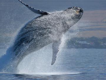 MarViva pide respetar a las ballenas y hacer avistamiento responsable