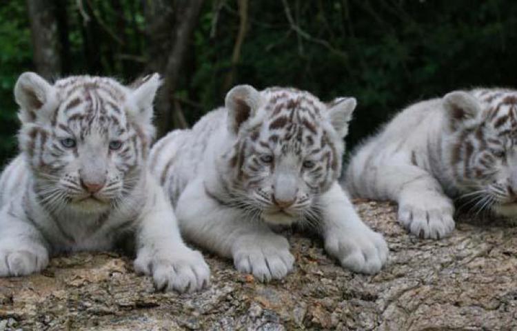 Zoológico de Perú, exhibenuevos tigres blancos de Bengala nacidos en cautiverio