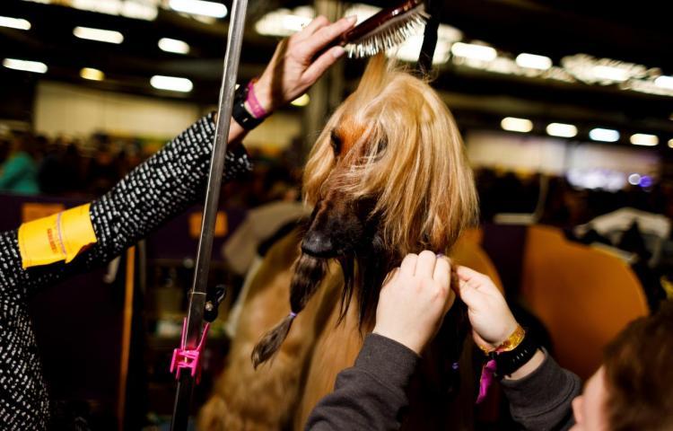 El encuentro de perros de raza en Nueva York reúne a miles de amantes de los canes