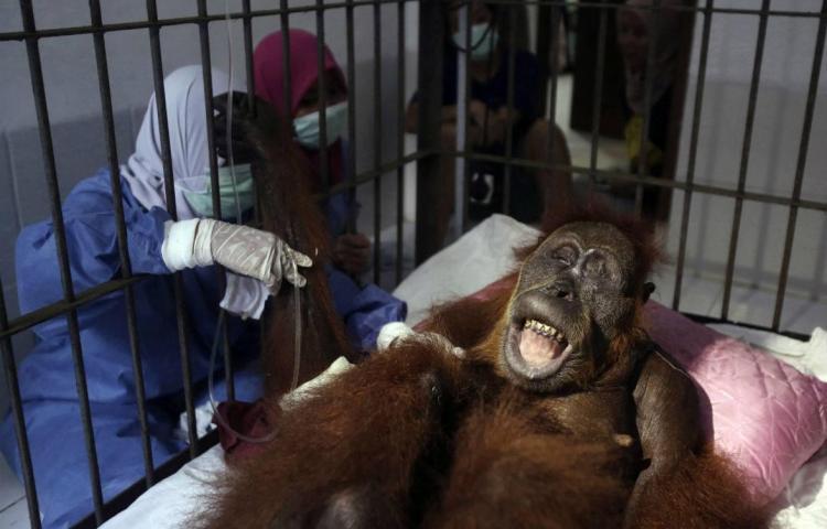 Orangután quedó ciega tras recibir 74 disparos de balines de aire comprimido