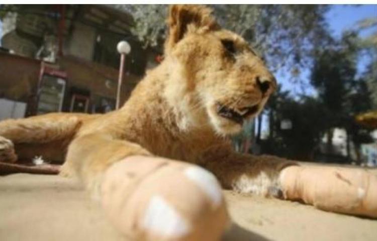 Le amputaron las garras a una leona