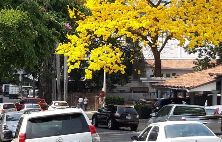 Los Guayacanes vuelven a iluminar las calles de la ciudad