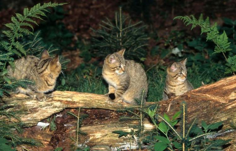 Australia busca exterminar a dos millones de gatos