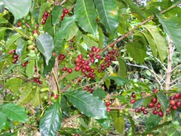 Avanza desarrollo del plan de caficultura para Centroamérica y Rep. Dominicana
