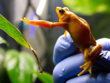Smithsonian impulsa criopreserva de esperma de ranas panameñas para salvarlas