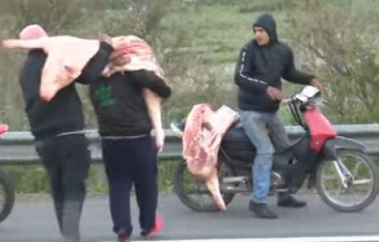 Hicieron fiesta al recoger cerdos luego de un accidente