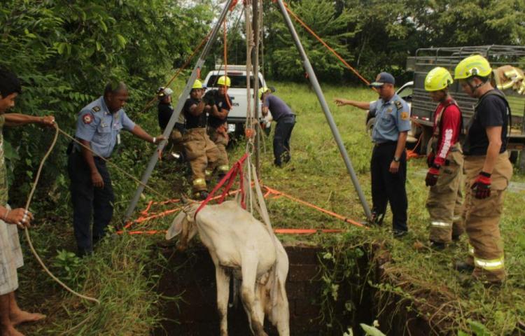 Bomberos rescataron a una novilla en Azuero