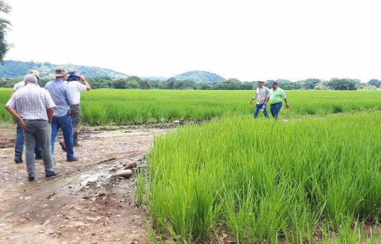'Sembrar arroz en la provincia de Chiriquí ha dejado de ser rentable', productores