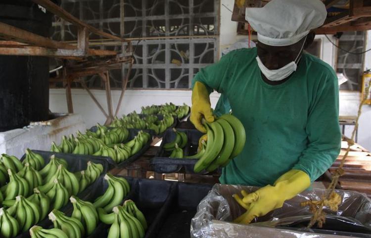 """Colombia en alerta por posible presencia del """"mal de Panamá"""" en zona bananera"""