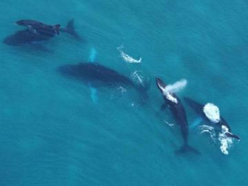 Temporada de avistamiento de ballenas y puede ayudar a la ciencia con sus fotos