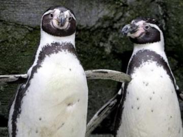 La policía se moviliza ante pingüinos errantes en la capital de Nueva Zelanda