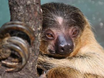El perezoso: una especie en peligro de extinción