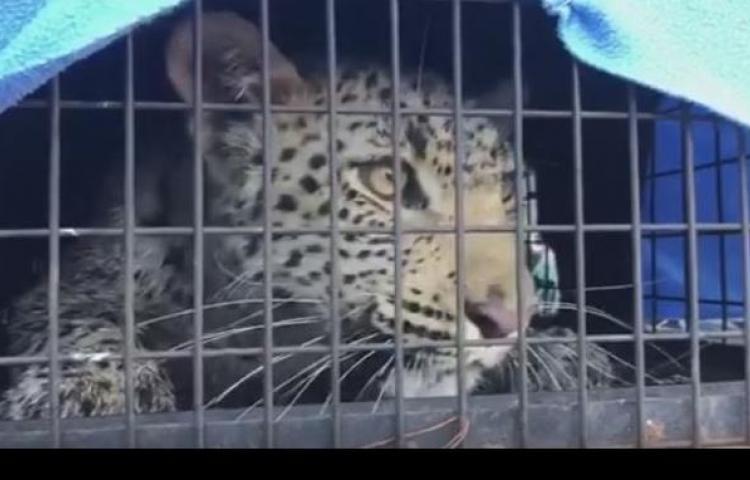 Sacan a un leopardo de un cuarto de lavandería a las afueras de Johannesburgo