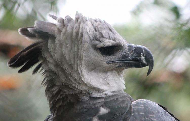 Tras 28 días, el águila harpía sigue perdida