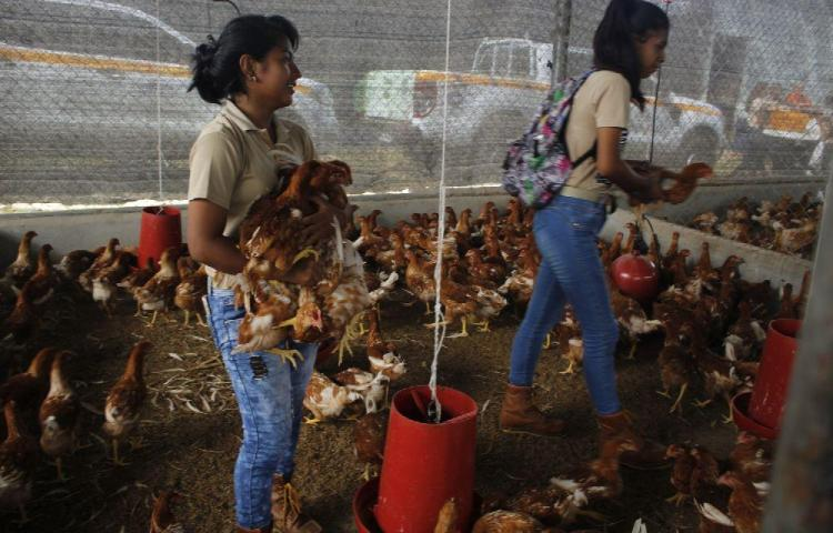 Entregan gallinas ponedoras en 68 colegios agrícolas