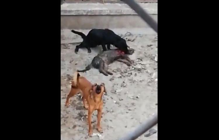 50 perros hacinados se comen entre ellos para sobrevivir
