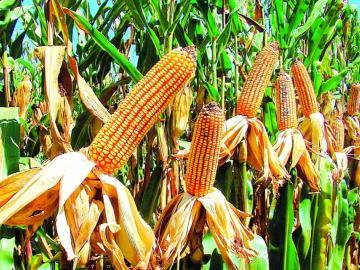 500 años de historia del maíz en Panamá
