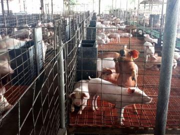 Porcinocultores contra la pared