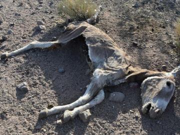 Matanza a balazos de burros salvajes en California