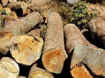 Los criminales del ambiente siguen devorando las selvas panameñas