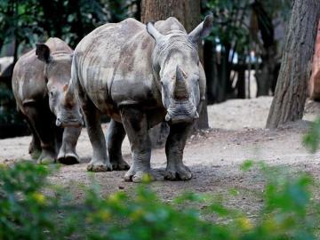 Una pareja de rinocerontes blancos, nuevos inquilinos del zoológico de Guatemala