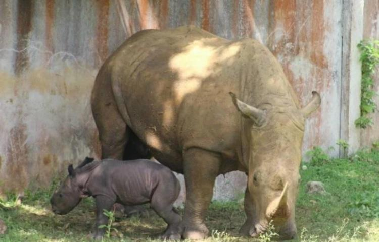 Nace la primera cría de rinoceronte blanco en Cuba