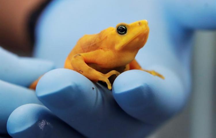 Congelan espermatozoides de la rana dorada en Panamá para evitar extinción