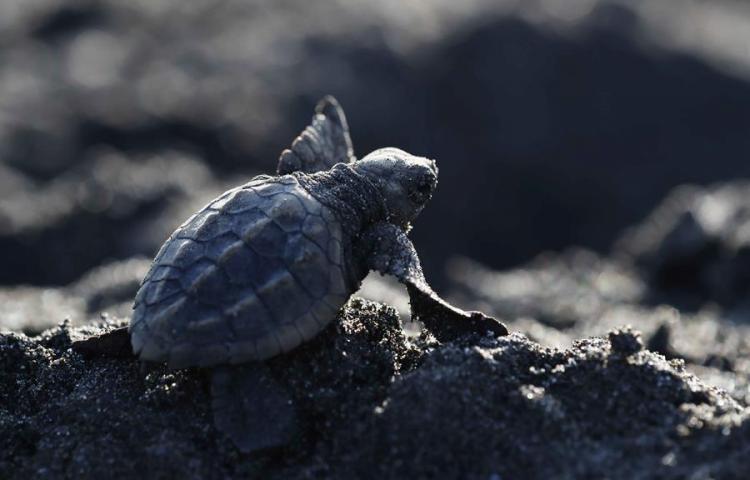 Tortugas marinas, un milagro natural amenazado por el saqueo de huevos