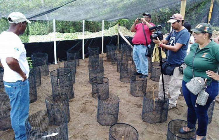 En Jaqué, reintegran a miles de crías de tortuga a su hábitat