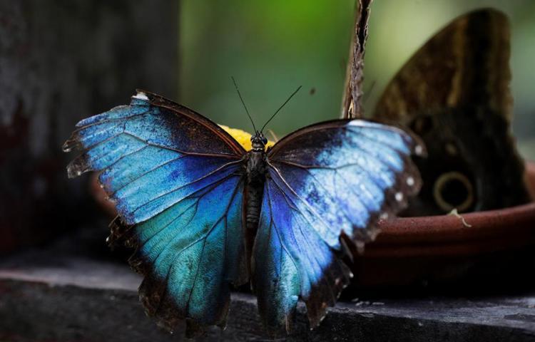 Una veintena de especies autóctonas son exhibidas en un mariposario de Panamá
