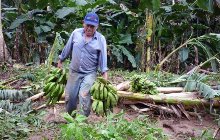 Mida intenta prevenir ingreso de hongo que daña al plátano y guineo
