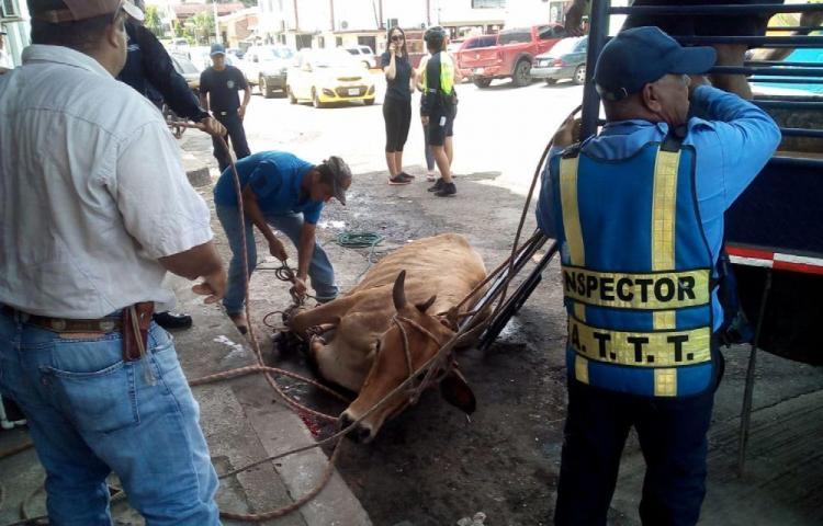 'Vacas locas' en soltura se tomaron las calles de Chitré