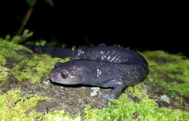 Festival de la salamandra fue en Boquete