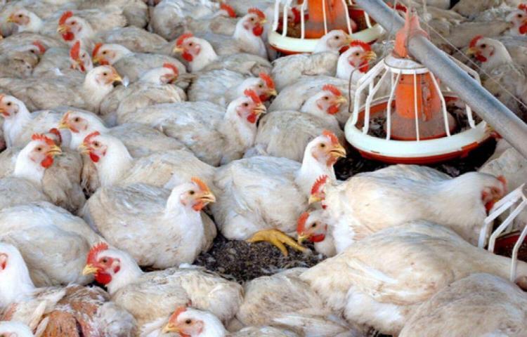 Compró por error 1,000 gallinas