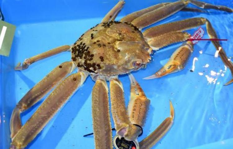 Subastan un cangrejo de las nieves de Japón por precio récord de 41.600 euros