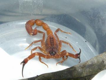 Minsa reporta 48 casos por picaduras de escorpiones