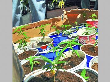 En discusión ley de uso legal del cannabis como medicina