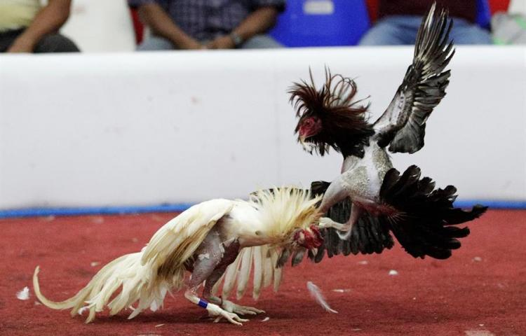 En Panamá las peleas a muerte entre gallos son una tradición y un deporte