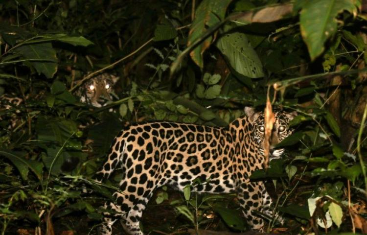 'Chucunaque', primer jaguar con GPS en Panamá