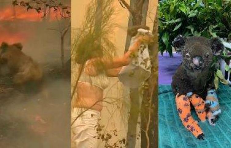 Fallece el koala rescatado durante los feroces incendios de Australia