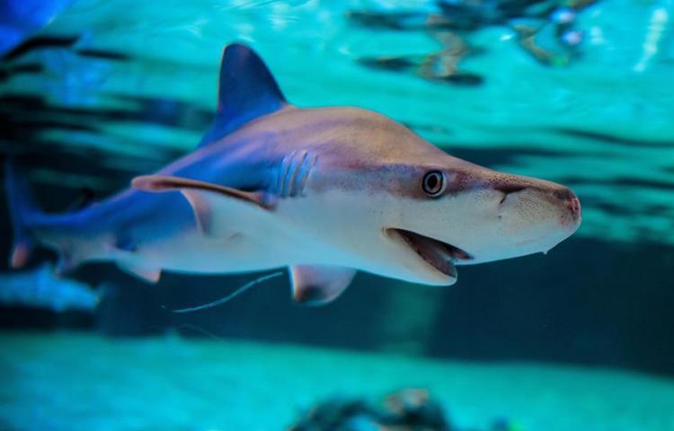 Proponen zonas de exclusión de pesca en Panamá para proteger tiburones
