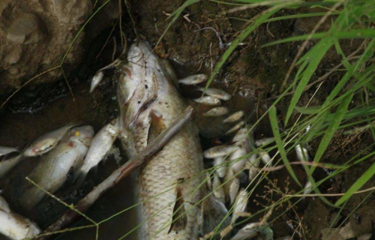 Alarma por peces muertos en un canal en Herrera
