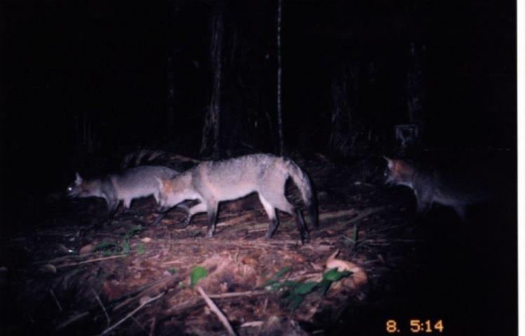 Los coyotes y los zorros cangrejeros se han visto juntos en el país