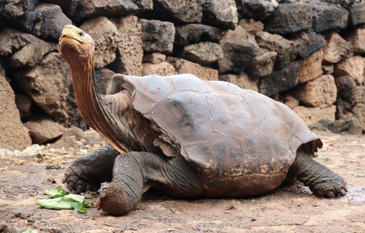Diego, la tortuga gigante que ayudó a salvar a su especie