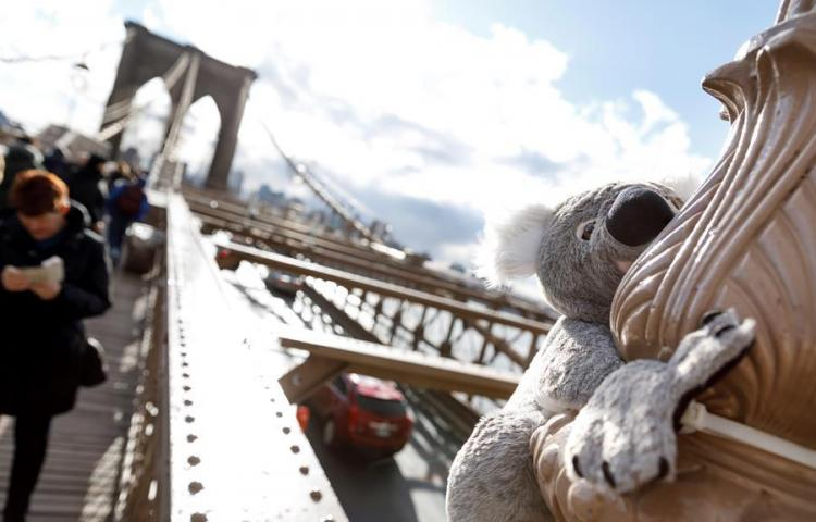 Koalas de peluche invaden Nueva York en solidaridad con Australia