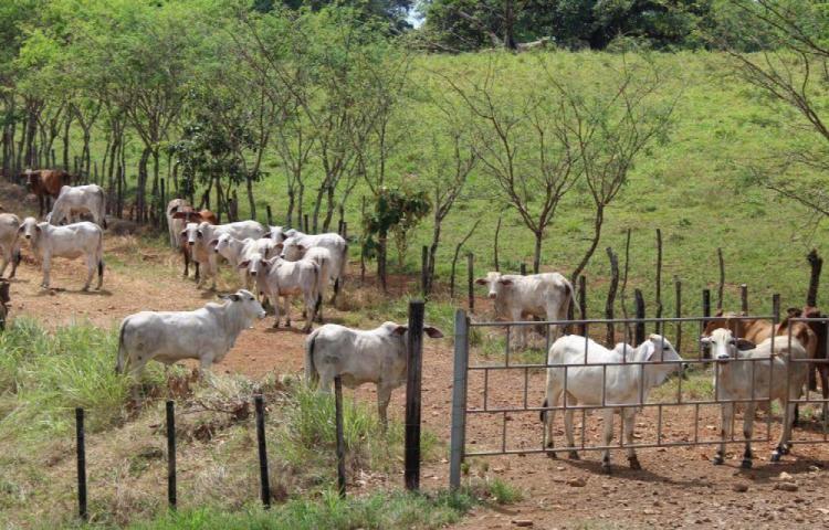 Descubren un caso de rabia bovina en una finca de Veraguas