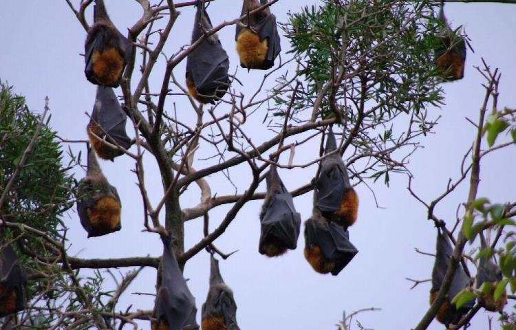 Plaga de murciélagos invade ciudad en Australia